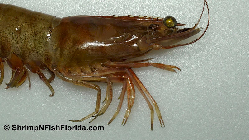 Close-up Photo's of  Florida Winter Shrimp
